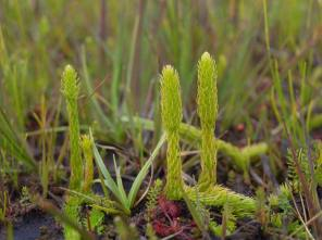 Marsh_clubmoss_3_(c)_Dominic_Price-Plantlife_lo-res