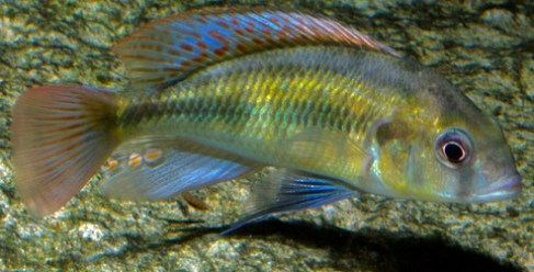 Female Haplochromis Obliquidens (Photograph by kbauman)