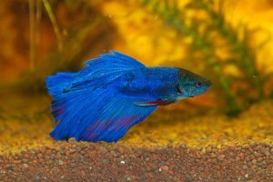 betta fish care guide blue betta