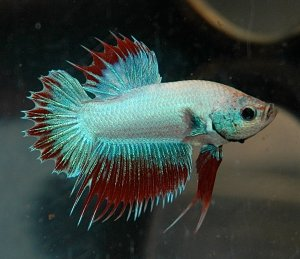 betta fish care guide blue-red betta