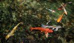 koi pond goldfish fish food