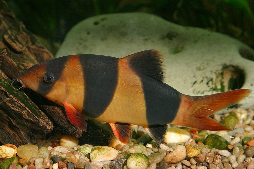 Clown loach fish supply guide for Loach fish types