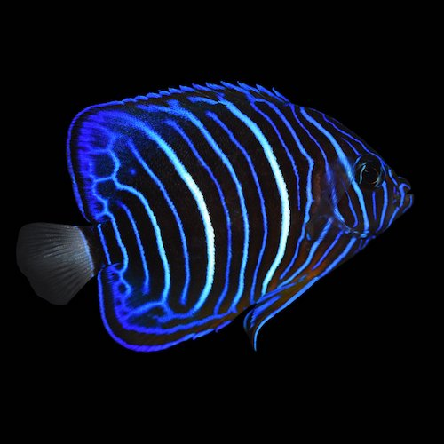 blue ring angelfish juvenile