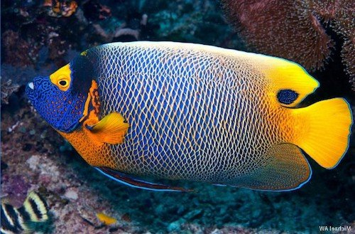 blueface angelfish 2