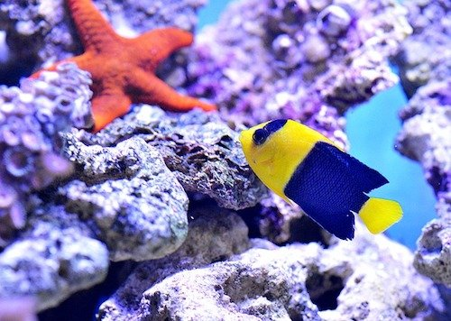 dwarf angelfish 1