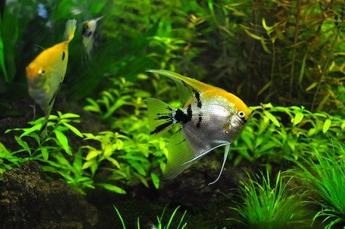 freshwater angelfish 3