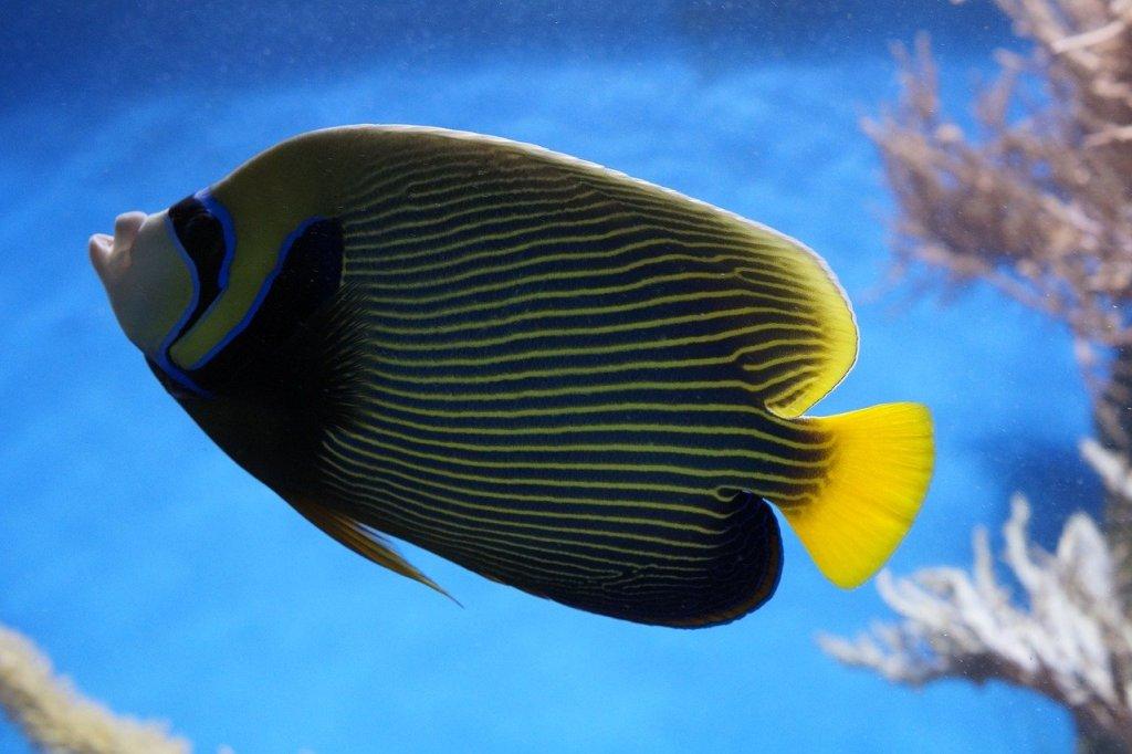large saltwater angelfish