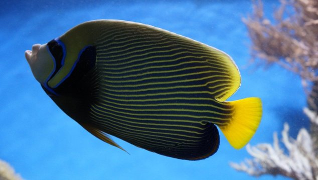 Large Saltwater Angelfish