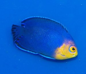 pygmy angelfish