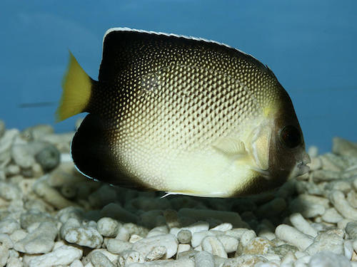 xanthurus angelfish 1