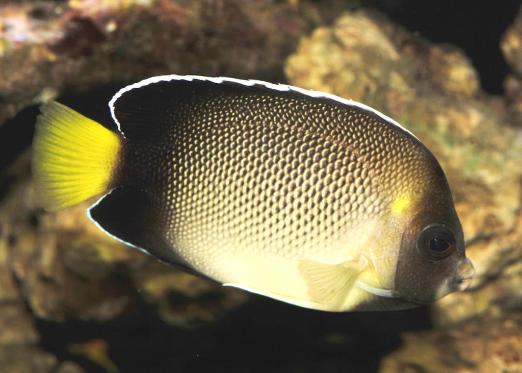 xanthurus angelfish