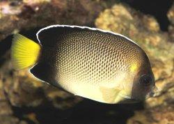 xanthurus angelfish