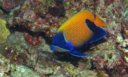 blue girdled angelfish