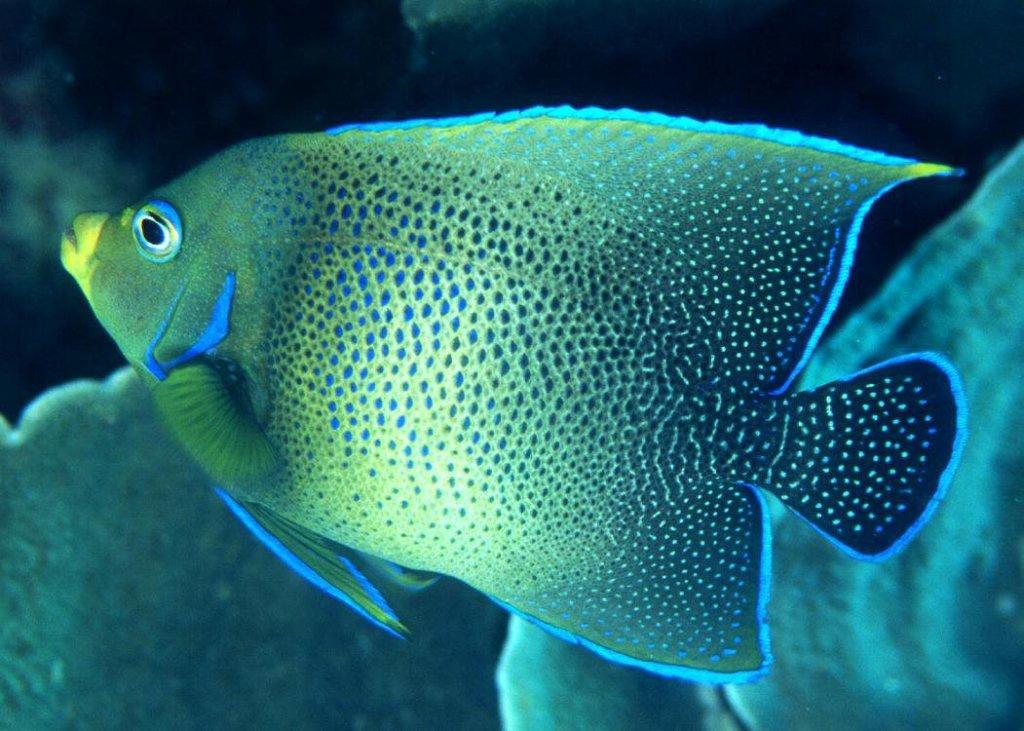 koran angelfish