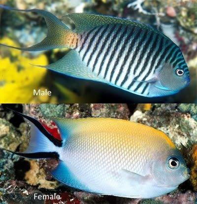 swallowtail angelfish 1