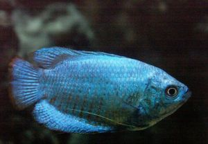 blue gourami