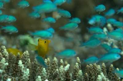 little yellow fish