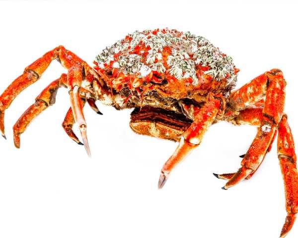Crab spider intreg 700/900g