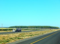 "A stand of future lumber along the highway in Oregon. These ""forests"" are grown like crops only for harvest."