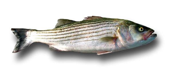 1fat-striper3