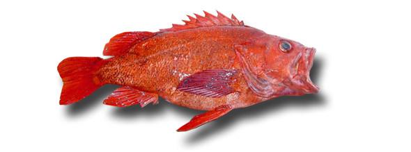 1rockfish