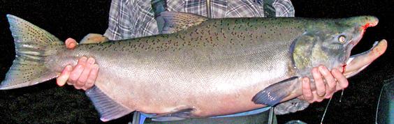 king-salmon