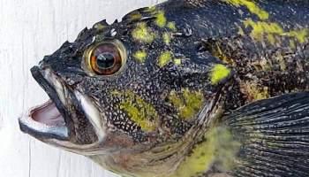 Fiberglass Fish Mounts