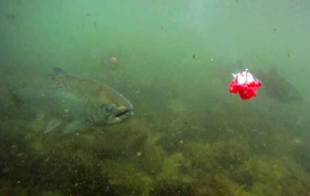 King swims at bait