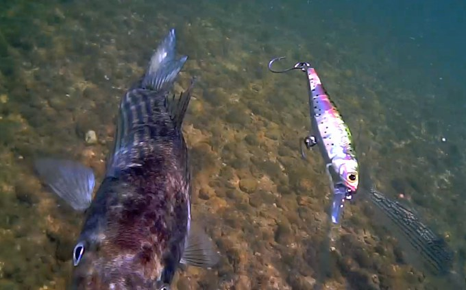 This one's kinda cool in that the fish appears to be zeroing in on the Water Wolf instead of the bait!