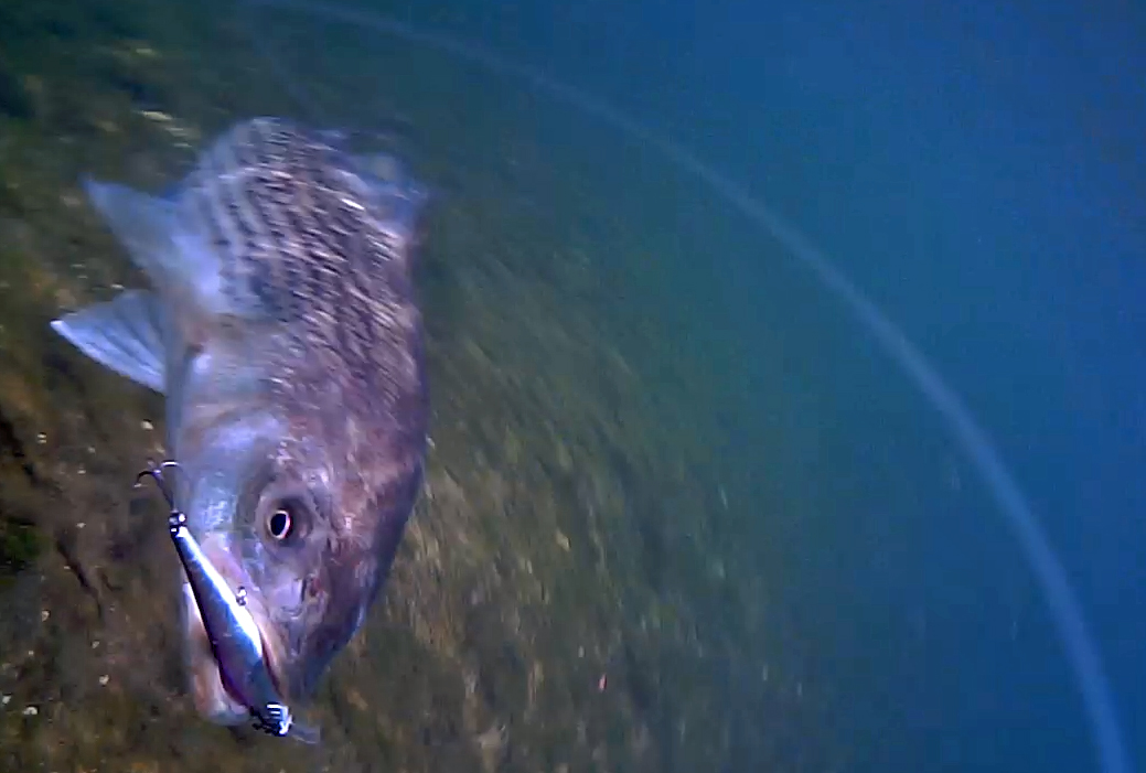 Striper attacks a lure underwater for Where are the fish biting