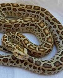 The Burmese Python has overrun Southern Florida