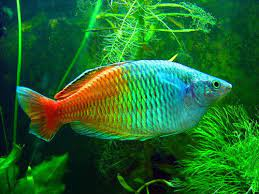 Boeseman's Rainbow fish