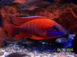 Reuben Red Peacock cichlid