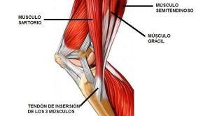 Musculos de la Pata de Ganso