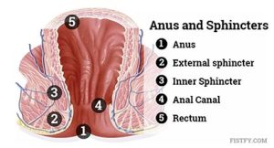 The anus canal is the part of before the rectum. It is closed off by two rings of muscle called sphincters – the external and Internal sphincter.