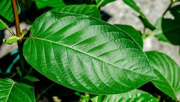 Alcohol and Kratom | In the Weeds Apothecary