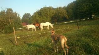 Unsere Route geht nun rechts an der Weide vorbei - kein Problem für Evita :-)
