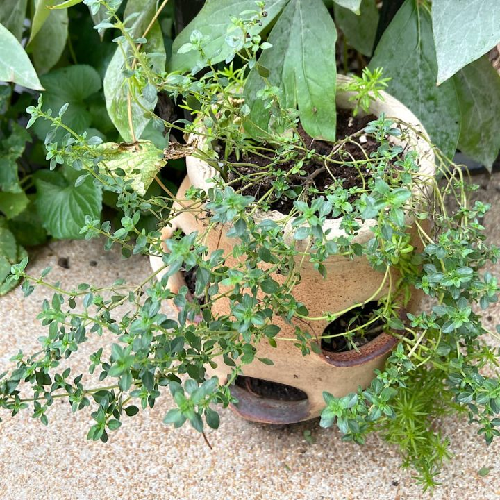 lemon thyme plant in a pot