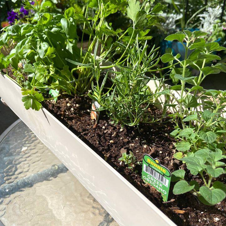 picture of plantar herb garden