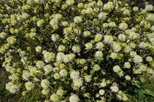 This is called a featherbush in German