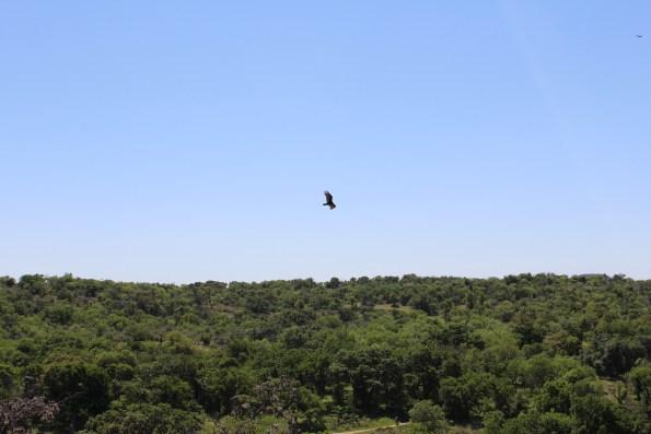 Hawk flying above Enchanted Rock