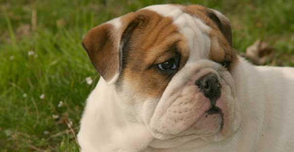 vero_bulldog_apert