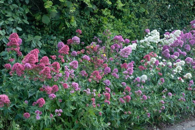 Valeriana comune: proprietà effetti benèfici e controindicazioni