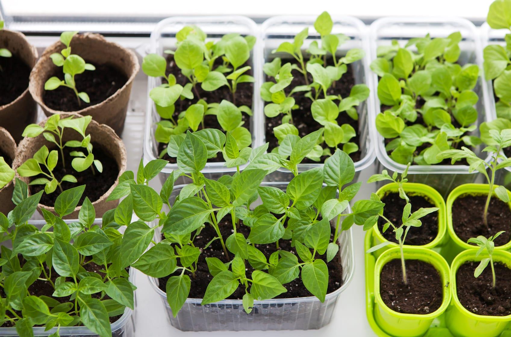 Vegetable seedligs indoor