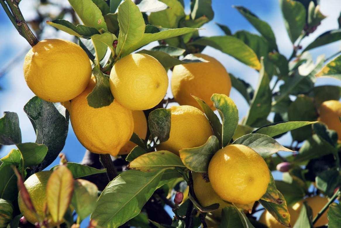 Zenzero e Limone - Pianta del Limone