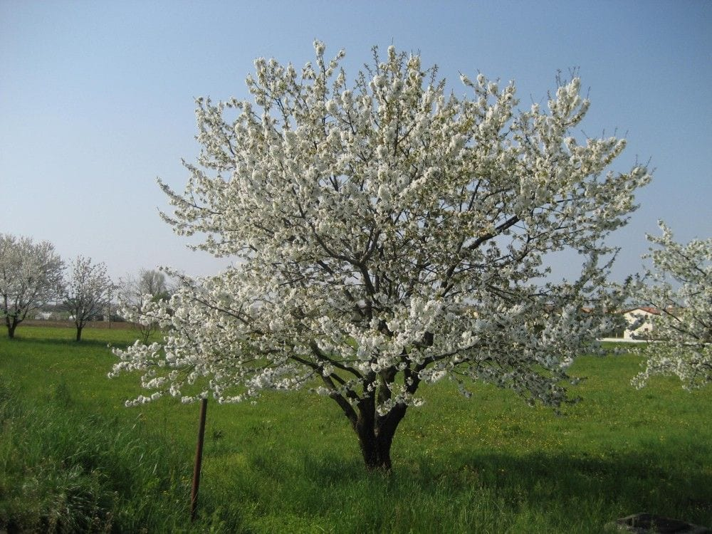 Albero di ciliegie in fiore
