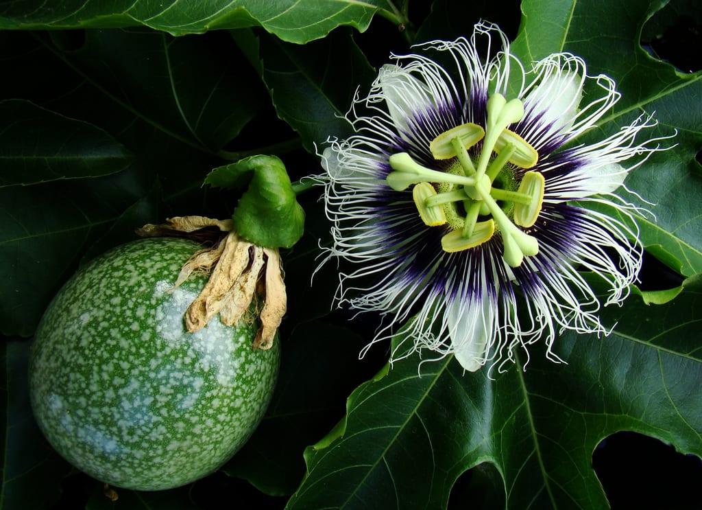 Tisana rilassante - Passiflora edulis