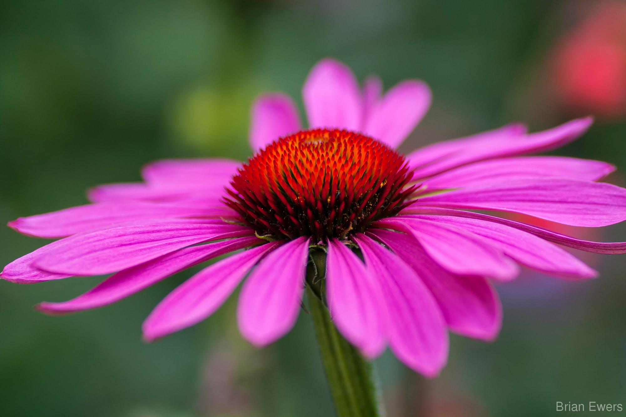 echinacea-purpurea-magnus