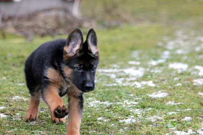 pastore tedesco: carattere, cura e come educarlo | fitmivida