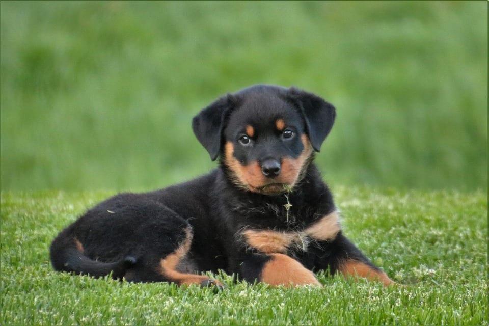 Rottweiler: carattere, cura e addestramento
